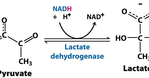 Lactate is unique!
