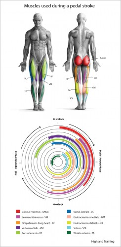 Power-Pedal-Muscles-Illustration